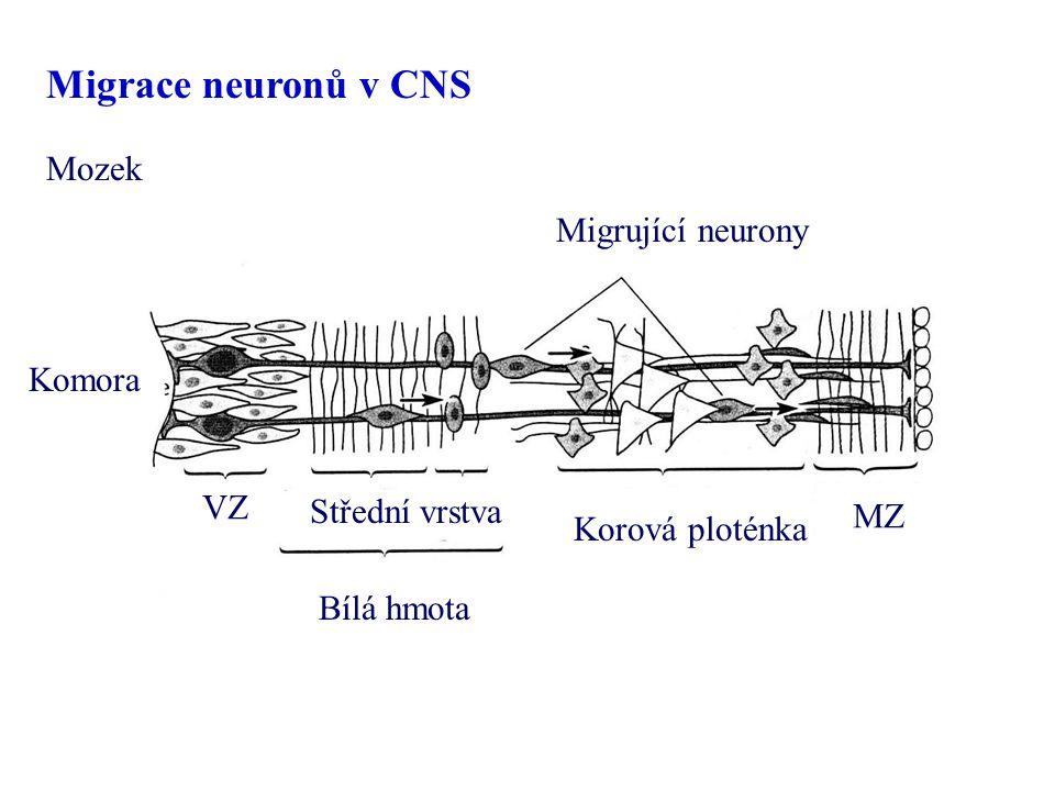 Mozek Migrující neurony Komora VZ MZ Bílá hmota Korová ploténka Střední vrstva Migrace neuronů v CNS