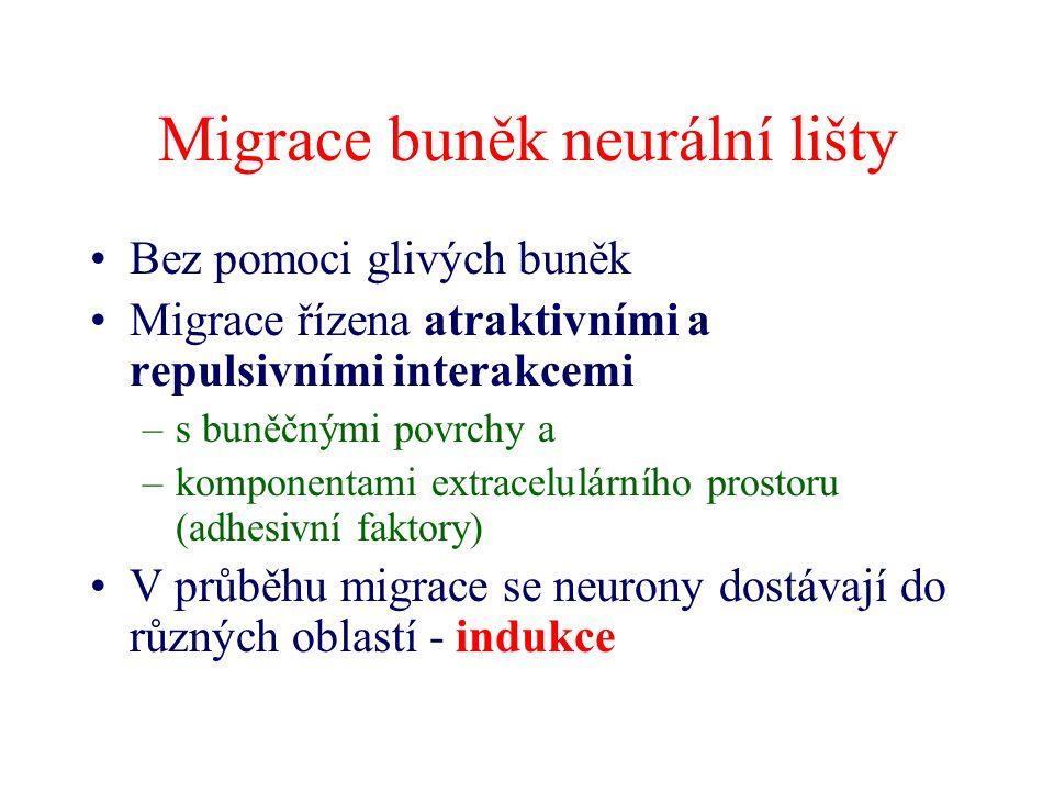 Migrace buněk neurální lišty Bez pomoci glivých buněk Migrace řízena atraktivními a repulsivními interakcemi –s buněčnými povrchy a –komponentami extr