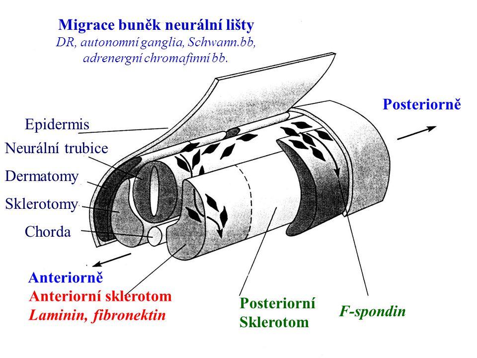 Epidermis Neurální trubice Dermatomy Sklerotomy Chorda F-spondin Anteriorní sklerotom Laminin, fibronektin Posteriorní Sklerotom Anteriorně Posteriorn