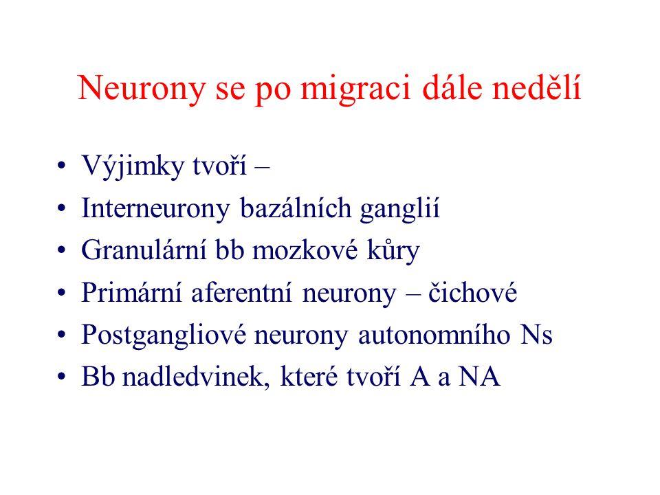 Neurony se po migraci dále nedělí Výjimky tvoří – Interneurony bazálních ganglií Granulární bb mozkové kůry Primární aferentní neurony – čichové Postg