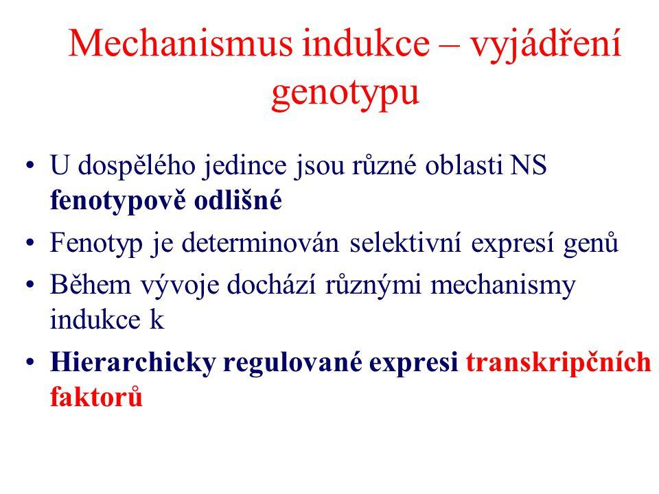 Mechanismus indukce – vyjádření genotypu U dospělého jedince jsou různé oblasti NS fenotypově odlišné Fenotyp je determinován selektivní expresí genů
