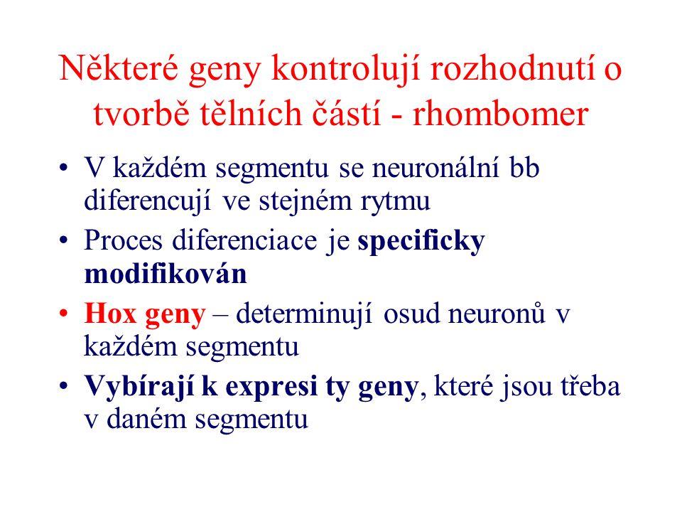 Některé geny kontrolují rozhodnutí o tvorbě tělních částí - rhombomer V každém segmentu se neuronální bb diferencují ve stejném rytmu Proces diferenci