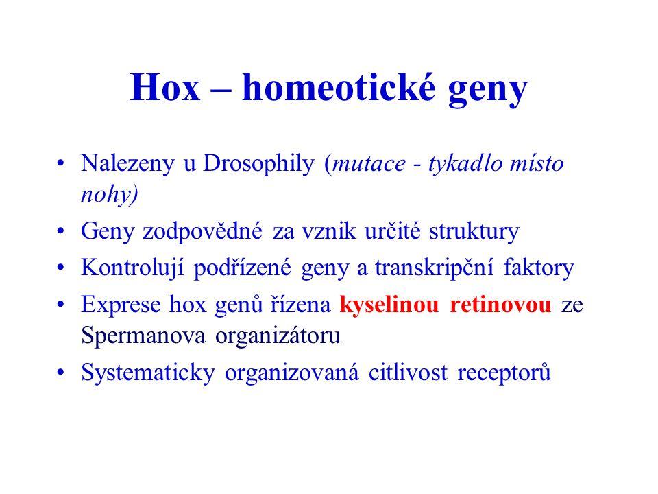 Hox – homeotické geny Nalezeny u Drosophily (mutace - tykadlo místo nohy) Geny zodpovědné za vznik určité struktury Kontrolují podřízené geny a transk
