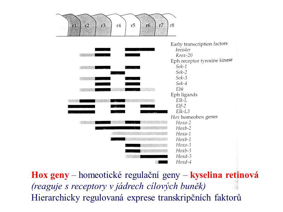 Hox geny – homeotické regulační geny – kyselina retinová (reaguje s receptory v jádrech cílových buněk) Hierarchicky regulovaná exprese transkripčních