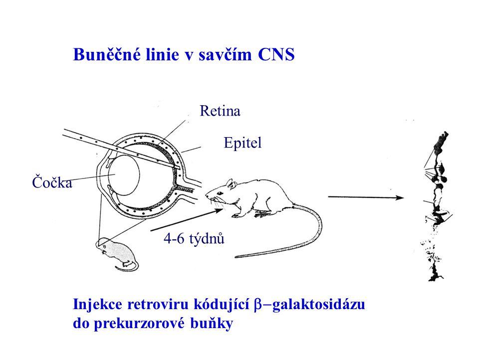 Retina Epitel Čočka 4-6 týdnů Injekce retroviru kódující  galaktosidázu do prekurzorové buňky  Buněčné linie v savčím CNS