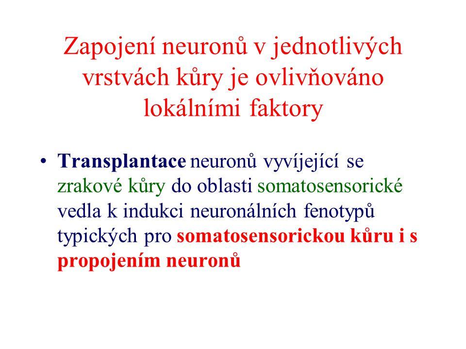 Zapojení neuronů v jednotlivých vrstvách kůry je ovlivňováno lokálními faktory Transplantace neuronů vyvíjející se zrakové kůry do oblasti somatosenso