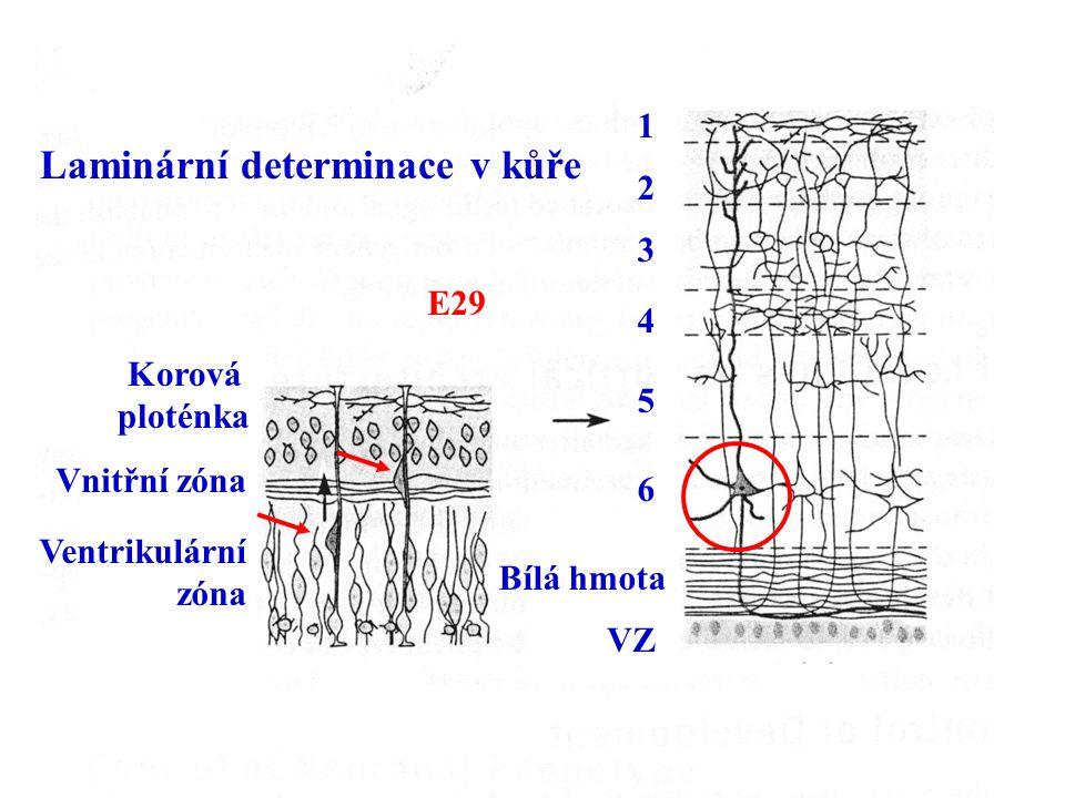 Korová ploténka Vnitřní zóna Ventrikulární zóna VZ Bílá hmota 1 2 3 4 5 6 Laminární determinace v kůře E29