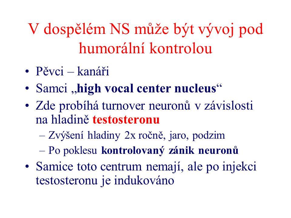 """V dospělém NS může být vývoj pod humorální kontrolou Pěvci – kanáři Samci """"high vocal center nucleus"""" Zde probíhá turnover neuronů v závislosti na hla"""