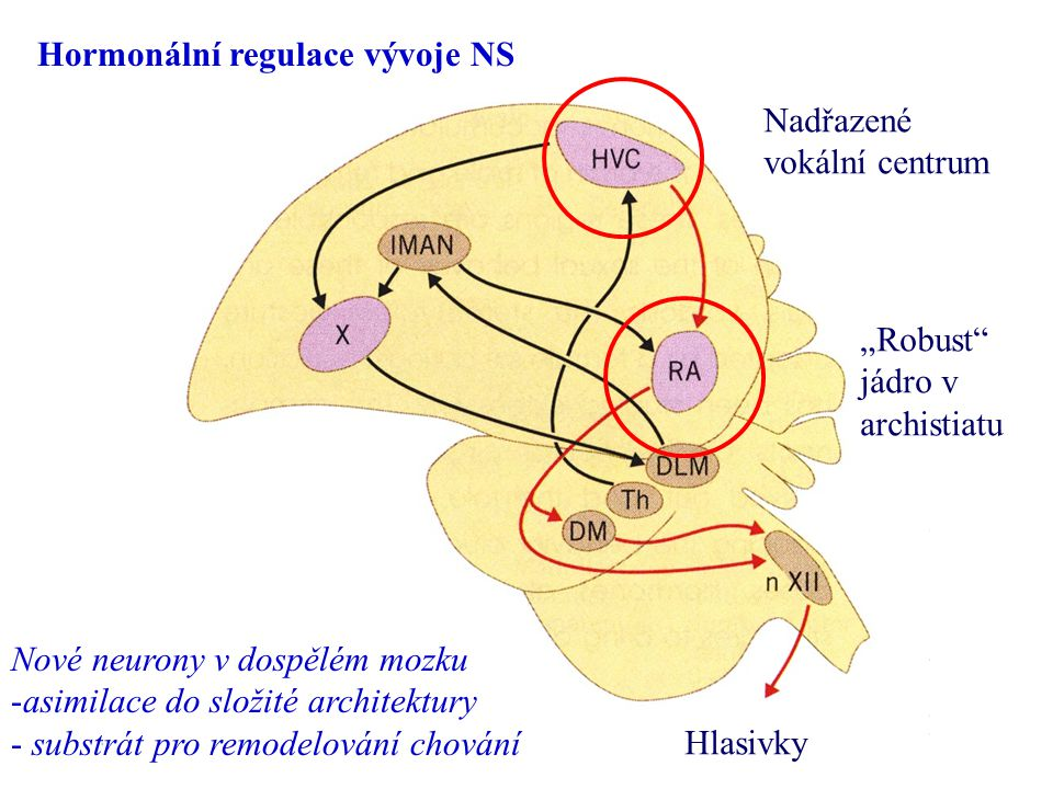 """Hormonální regulace vývoje NS Nadřazené vokální centrum """"Robust"""" jádro v archistiatu Hlasivky Nové neurony v dospělém mozku -asimilace do složité arch"""