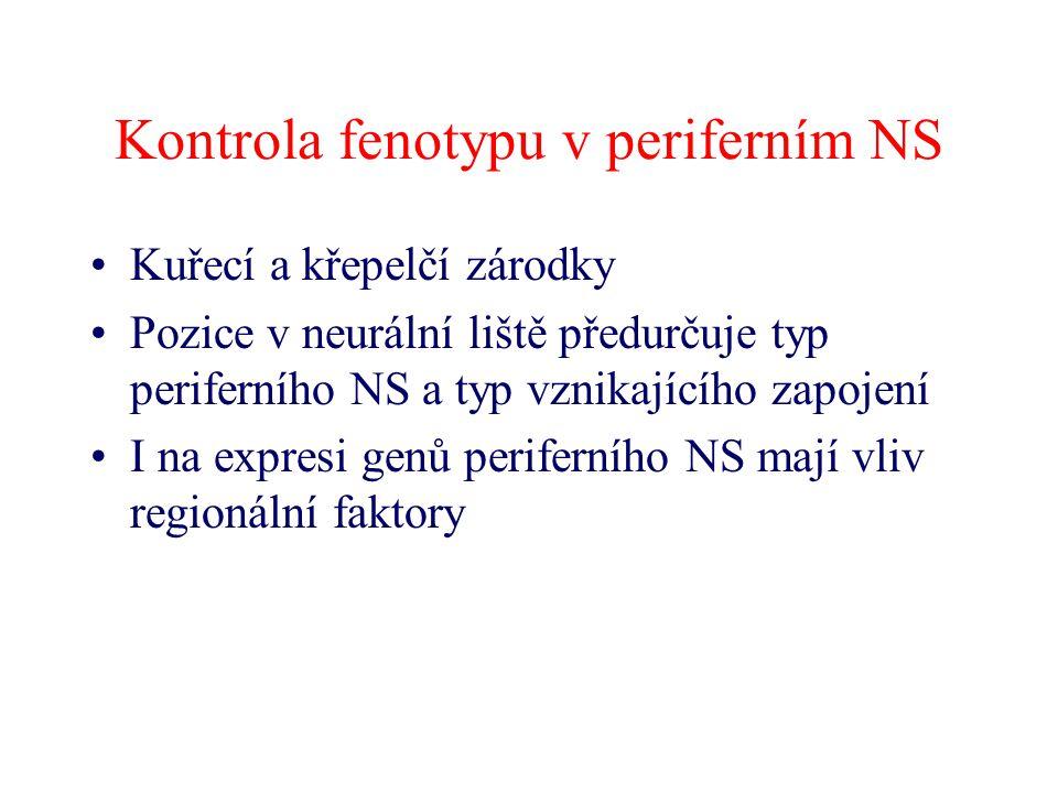 Kontrola fenotypu v periferním NS Kuřecí a křepelčí zárodky Pozice v neurální liště předurčuje typ periferního NS a typ vznikajícího zapojení I na exp