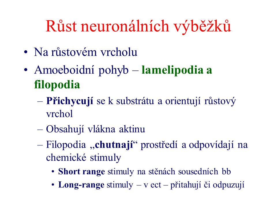 Růst neuronálních výběžků Na růstovém vrcholu Amoeboidní pohyb – lamelipodia a filopodia –Přichycují se k substrátu a orientují růstový vrchol –Obsahu