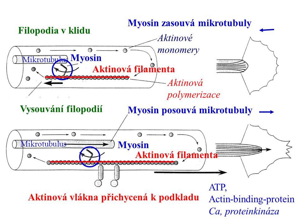Aktinová vlákna přichycená k podkladu Mikrotubulus Aktinová filamenta Myosin Myosin posouvá mikrotubuly Filopodia v klidu Vysouvání filopodií Aktinové