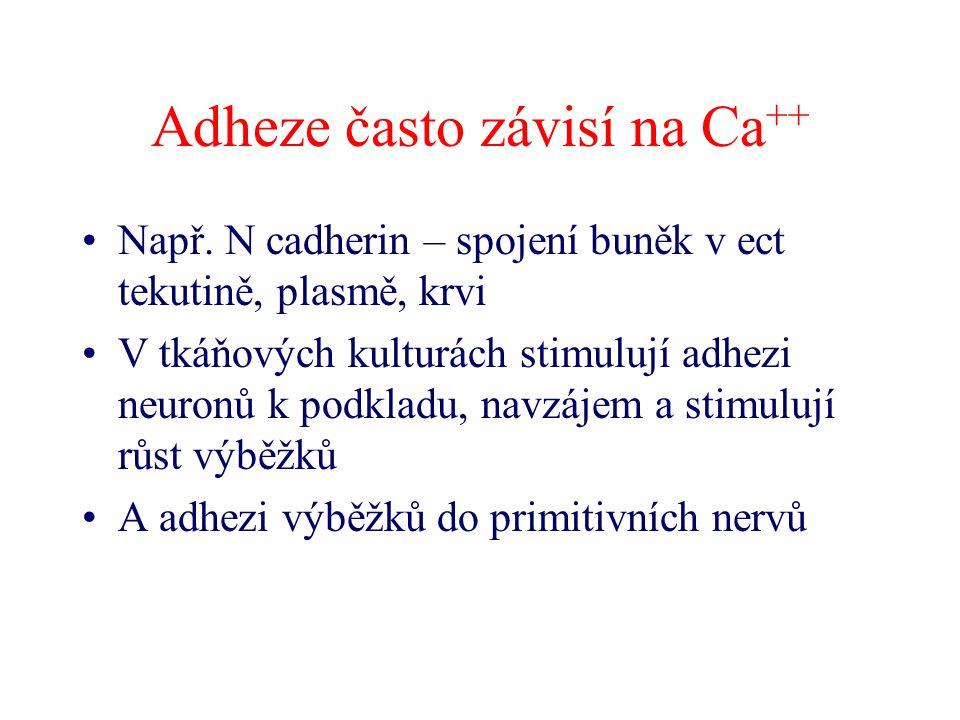 Adheze často závisí na Ca ++ Např. N cadherin – spojení buněk v ect tekutině, plasmě, krvi V tkáňových kulturách stimulují adhezi neuronů k podkladu,