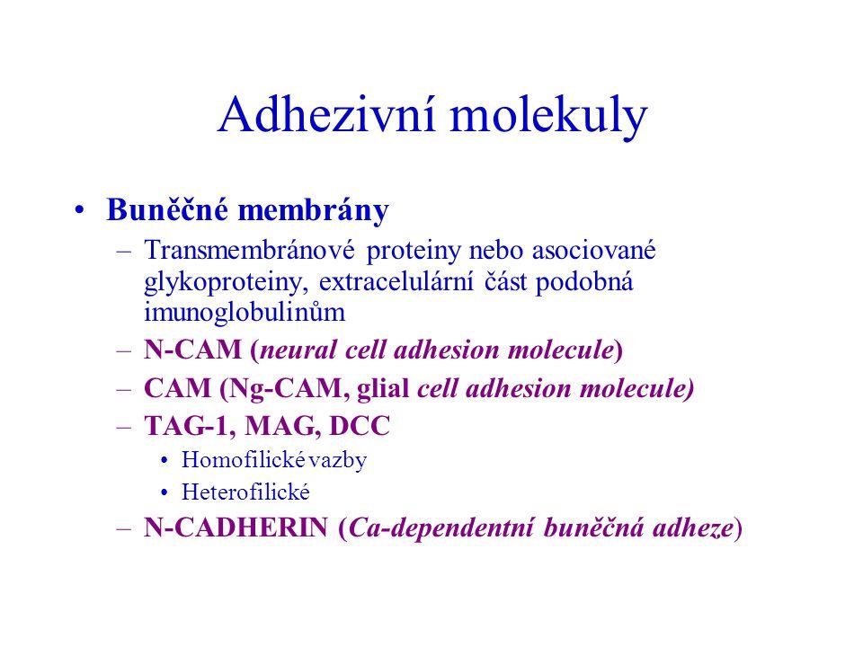 Adhezivní molekuly Buněčné membrány –Transmembránové proteiny nebo asociované glykoproteiny, extracelulární část podobná imunoglobulinům –N-CAM (neura