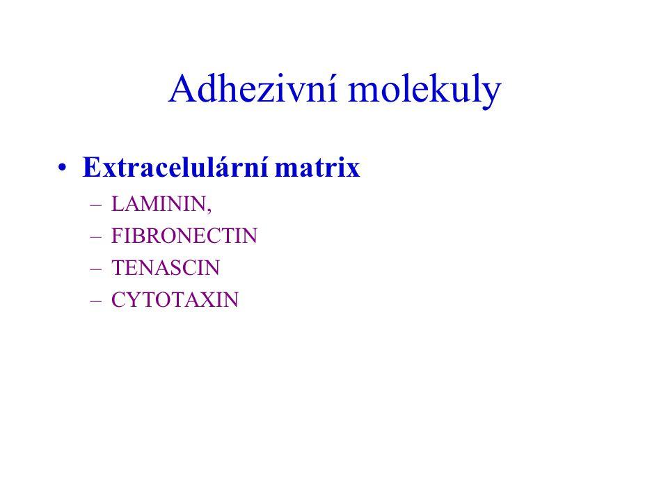 Adhezivní molekuly Extracelulární matrix –LAMININ, –FIBRONECTIN –TENASCIN –CYTOTAXIN
