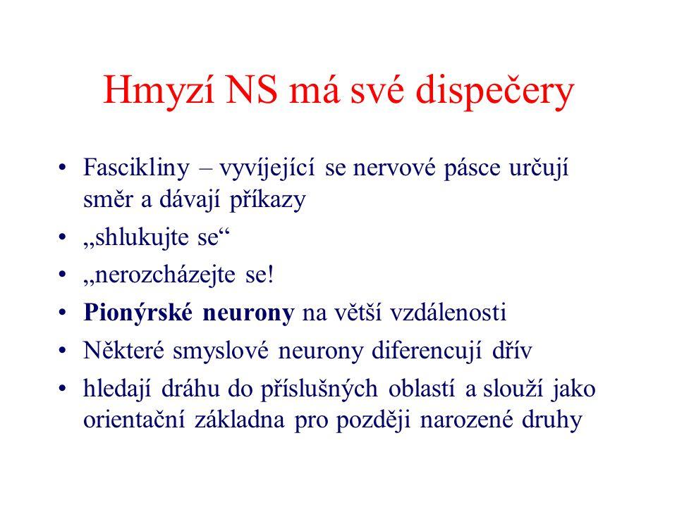 """Hmyzí NS má své dispečery Fascikliny – vyvíjející se nervové pásce určují směr a dávají příkazy """"shlukujte se"""" """"nerozcházejte se! Pionýrské neurony na"""