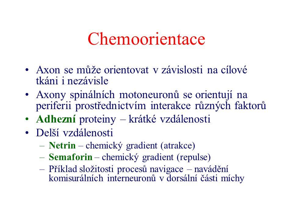 Chemoorientace Axon se může orientovat v závislosti na cílové tkáni i nezávisle Axony spinálních motoneuronů se orientují na periferii prostřednictvím