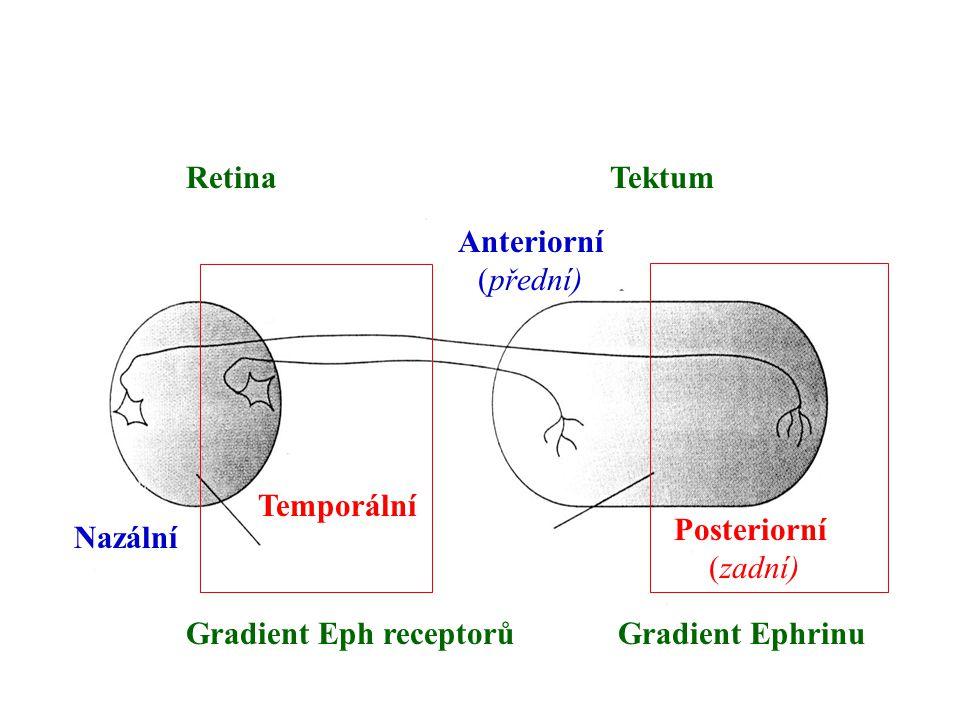 RetinaTektum Nazální Temporální Anteriorní (přední) Posteriorní (zadní) Gradient Eph receptorůGradient Ephrinu