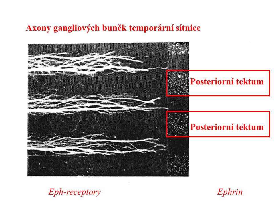 Axony gangliových buněk temporární sítnice Posteriorní tektum Eph-receptoryEphrin