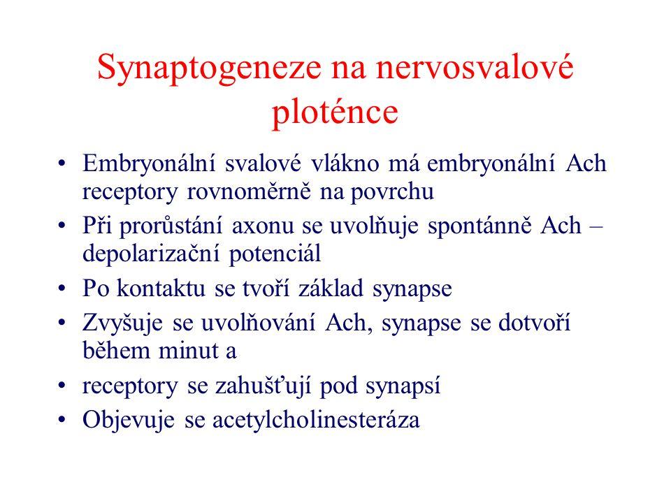 Synaptogeneze na nervosvalové ploténce Embryonální svalové vlákno má embryonální Ach receptory rovnoměrně na povrchu Při prorůstání axonu se uvolňuje
