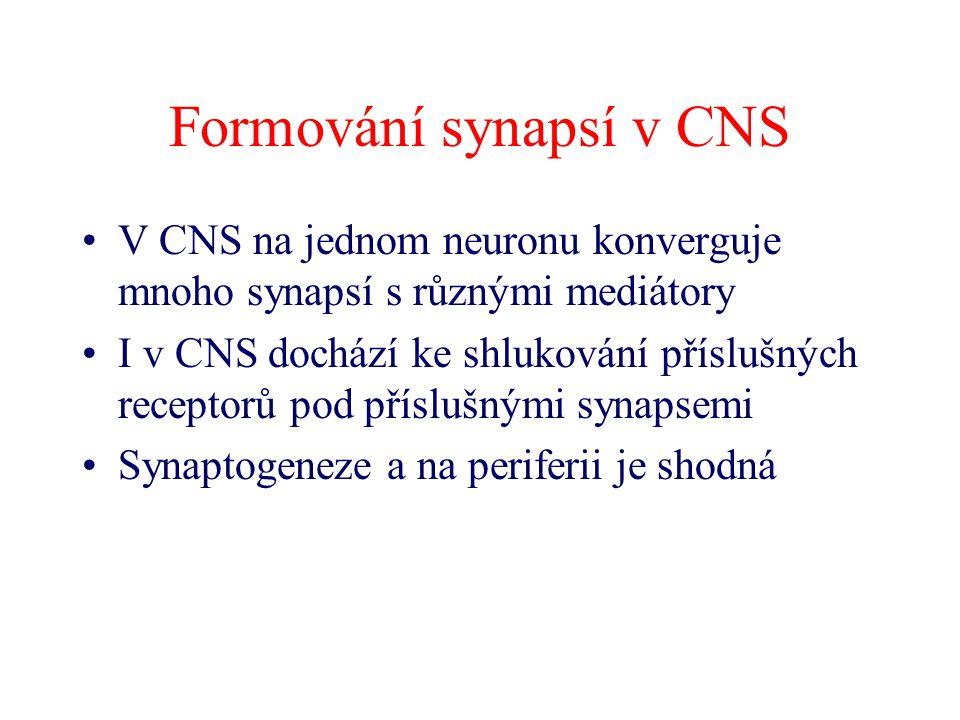 Formování synapsí v CNS V CNS na jednom neuronu konverguje mnoho synapsí s různými mediátory I v CNS dochází ke shlukování příslušných receptorů pod p