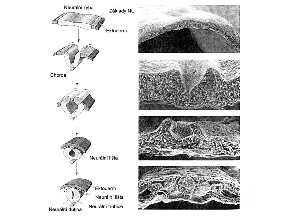 Migrace buněk neurální lišty Bez pomoci glivých buněk Migrace řízena atraktivními a repulsivními interakcemi –s buněčnými povrchy a –komponentami extracelulárního prostoru (adhesivní faktory) V průběhu migrace se neurony dostávají do různých oblastí - indukce