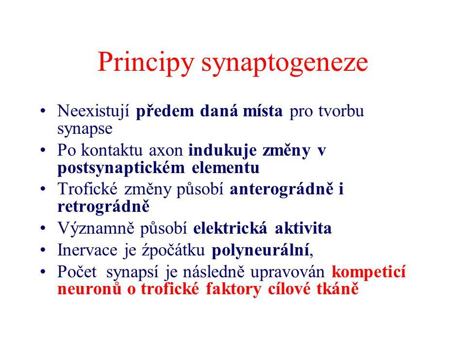 Principy synaptogeneze Neexistují předem daná místa pro tvorbu synapse Po kontaktu axon indukuje změny v postsynaptickém elementu Trofické změny působ