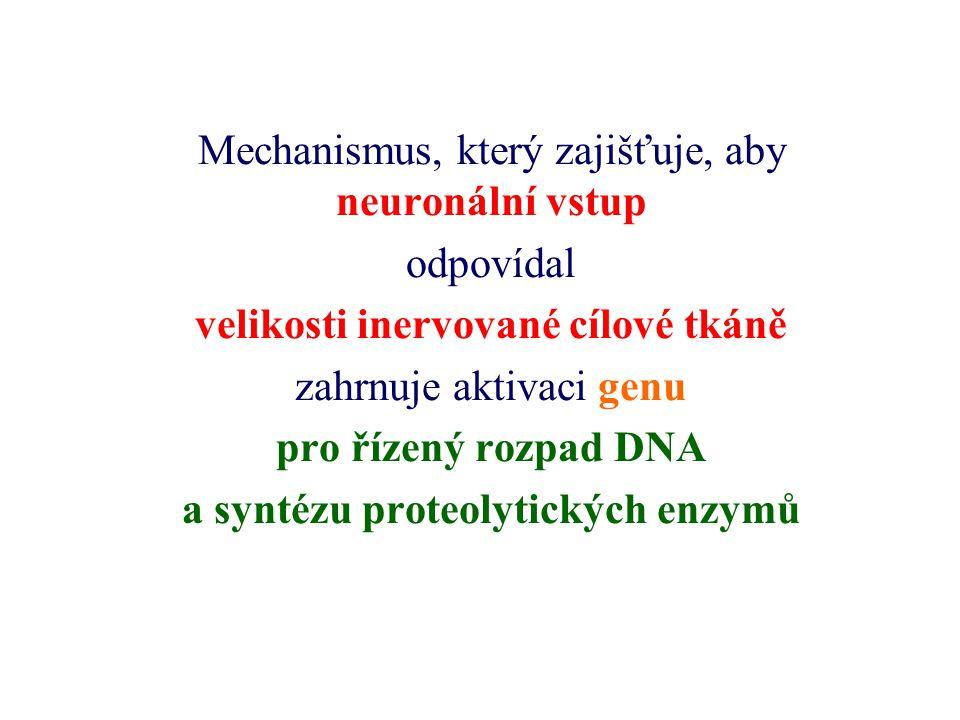 Mechanismus, který zajišťuje, aby neuronální vstup odpovídal velikosti inervované cílové tkáně zahrnuje aktivaci genu pro řízený rozpad DNA a syntézu