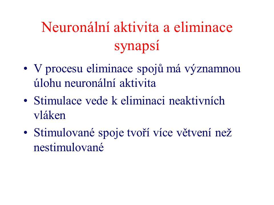Neuronální aktivita a eliminace synapsí V procesu eliminace spojů má významnou úlohu neuronální aktivita Stimulace vede k eliminaci neaktivních vláken