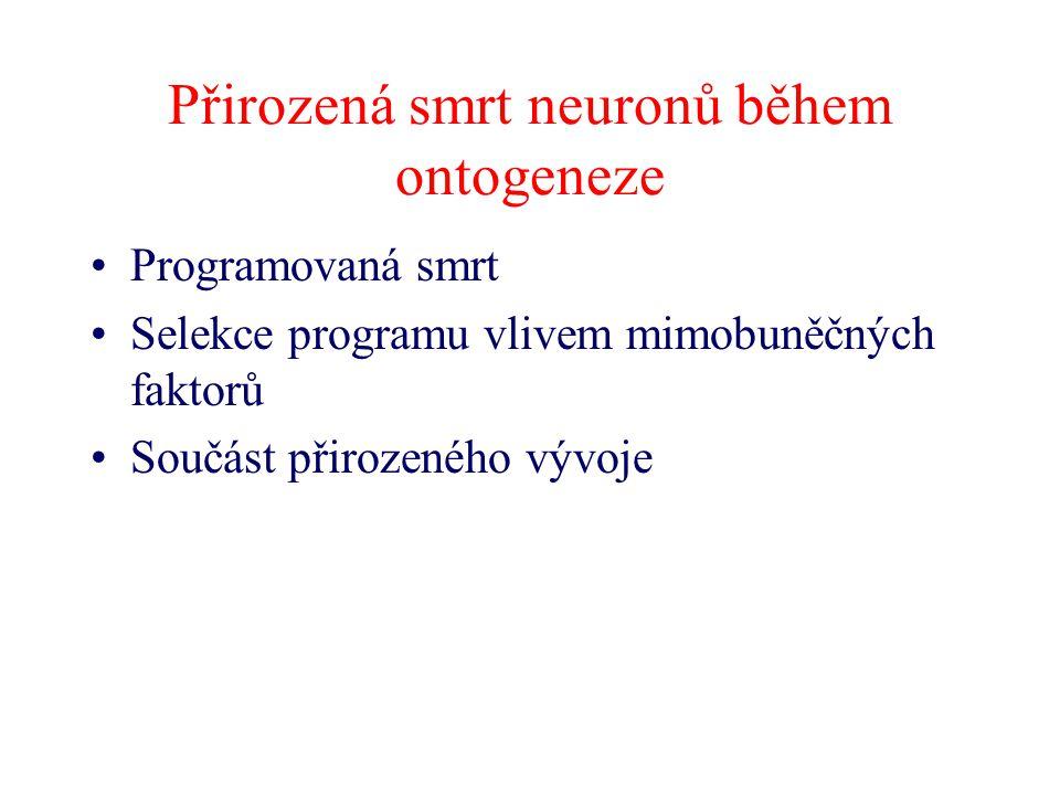 Přirozená smrt neuronů během ontogeneze Programovaná smrt Selekce programu vlivem mimobuněčných faktorů Součást přirozeného vývoje