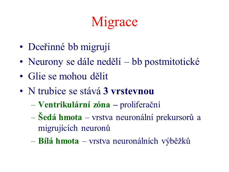 Migrace Dceřinné bb migrují Neurony se dále nedělí – bb postmitotické Glie se mohou dělit N trubice se stává 3 vrstevnou –Ventrikulární zóna – prolife