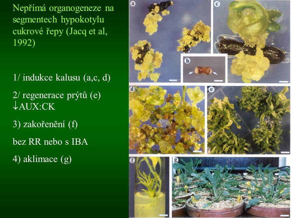 Nepřímá organogeneze na segmentech hypokotylu cukrové řepy (Jacq et al, 1992) 1/ indukce kalusu (a,c, d) 2/ regenerace prýtů (e)  AUX:CK 3) zakořeněn