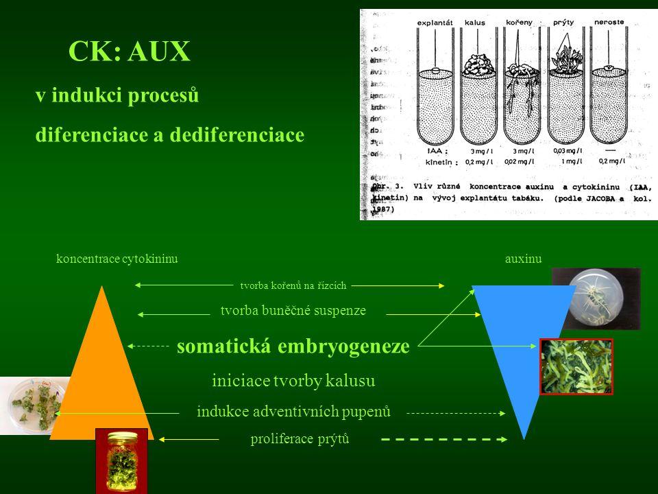 koncentrace cytokininu auxinu CK: AUX v indukci procesů diferenciace a dediferenciace tvorba kořenů na řízcích tvorba buněčné suspenze somatická embry