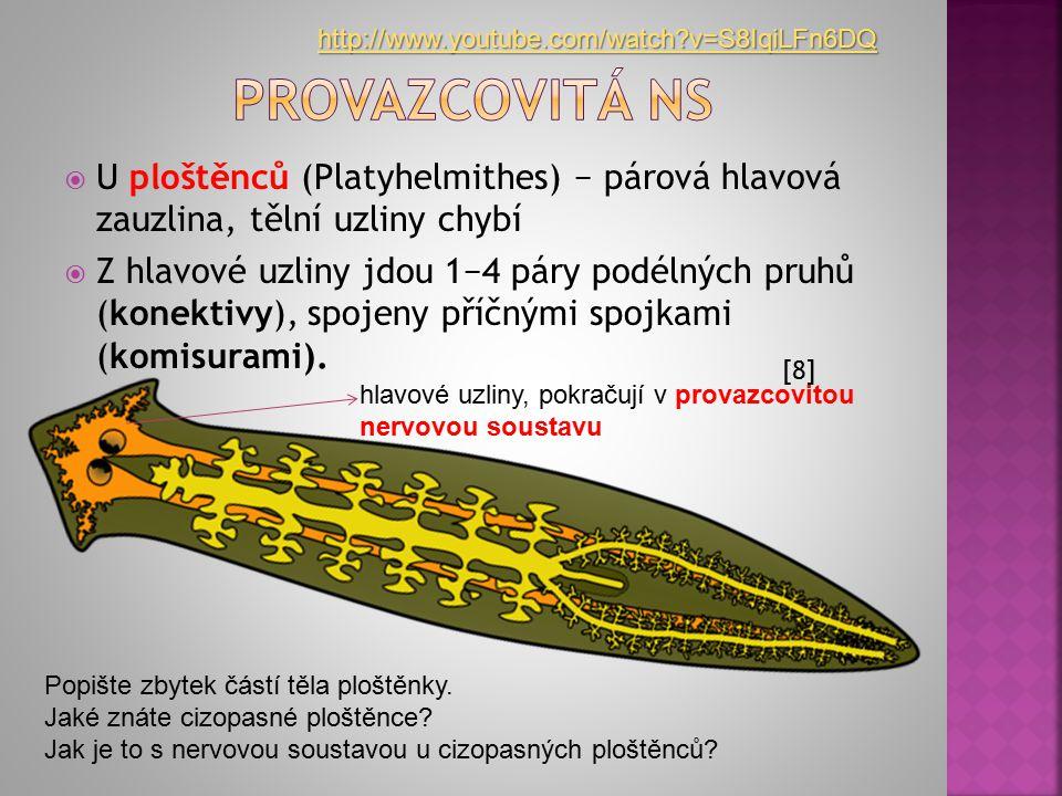  U ploštěnců (Platyhelmithes) − párová hlavová zauzlina, tělní uzliny chybí  Z hlavové uzliny jdou 1−4 páry podélných pruhů (konektivy), spojeny pří