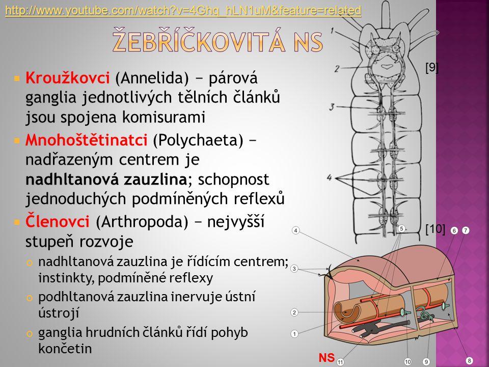  Kroužkovci (Annelida) − párová ganglia jednotlivých tělních článků jsou spojena komisurami  Mnohoštětinatci (Polychaeta) − nadřazeným centrem je na