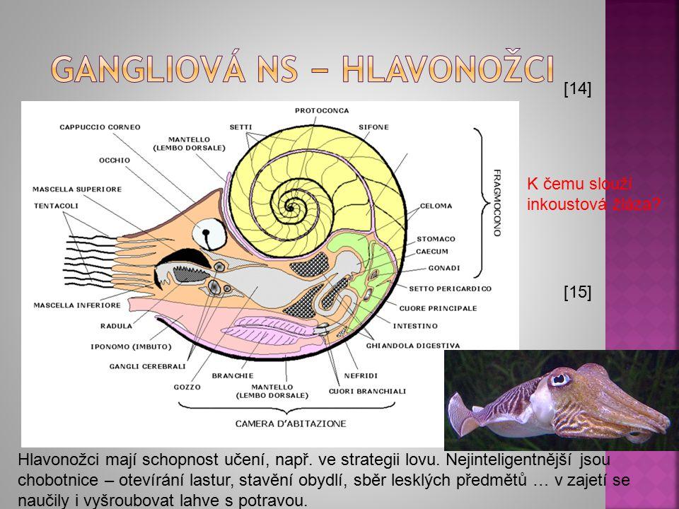 [14] [15] Hlavonožci mají schopnost učení, např. ve strategii lovu. Nejinteligentnější jsou chobotnice – otevírání lastur, stavění obydlí, sběr lesklý