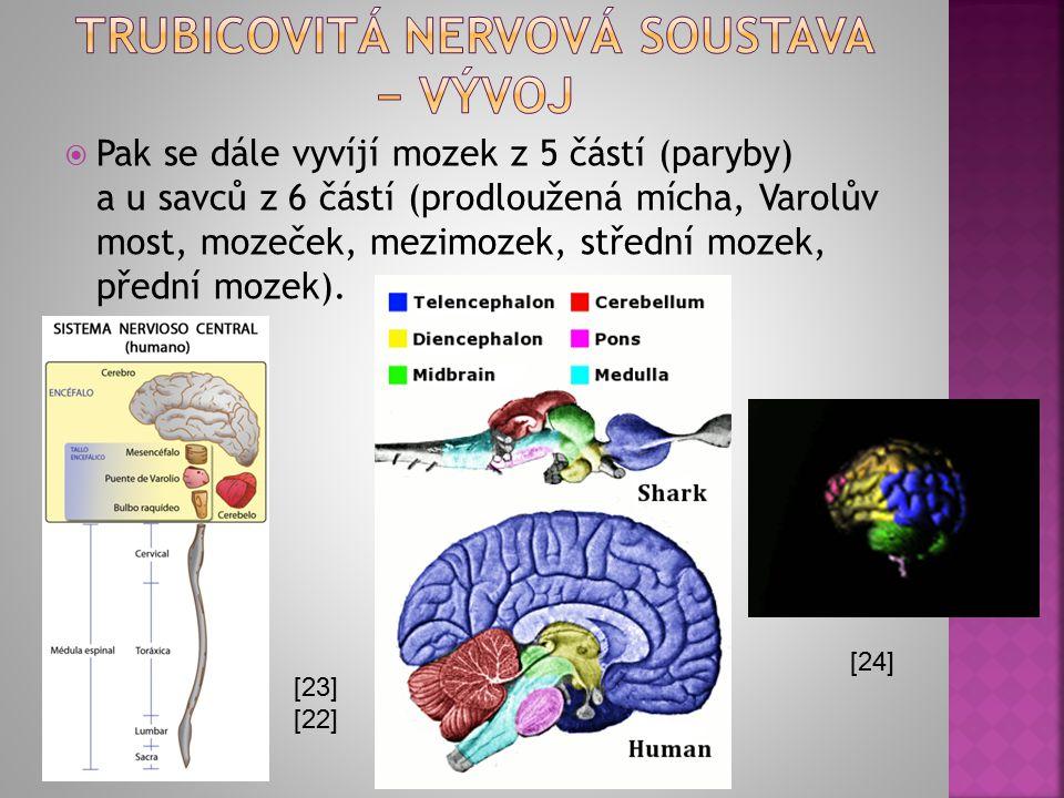  Pak se dále vyvíjí mozek z 5 částí (paryby) a u savců z 6 částí (prodloužená mícha, Varolův most, mozeček, mezimozek, střední mozek, přední mozek).