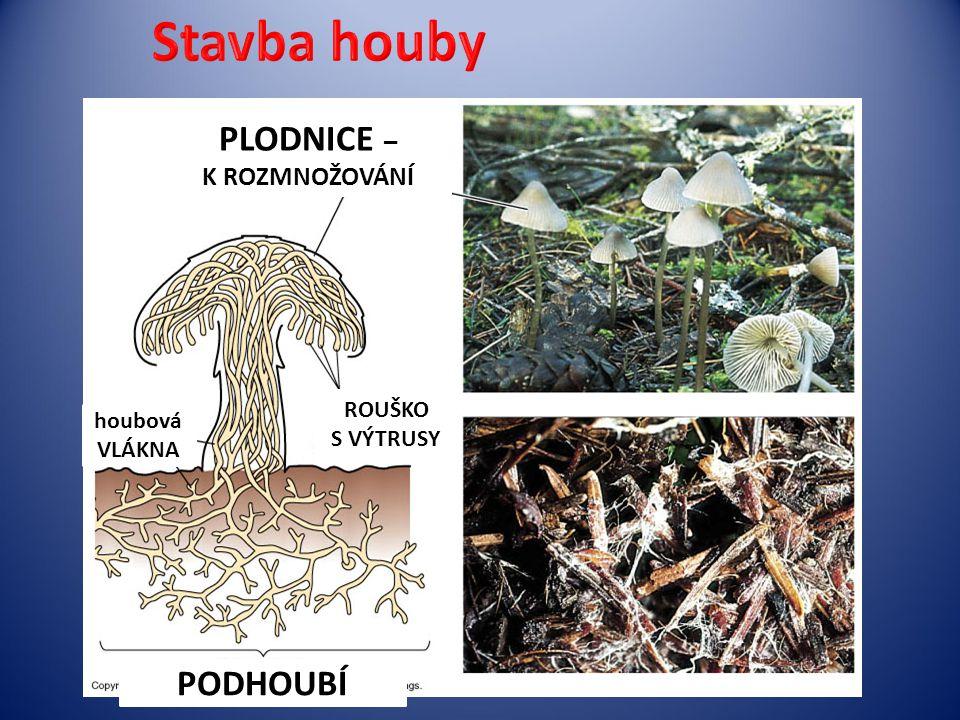 PLODNICE – K ROZMNOŽOVÁNÍ ROUŠKO S VÝTRUSY houbová VLÁKNA PODHOUBÍ