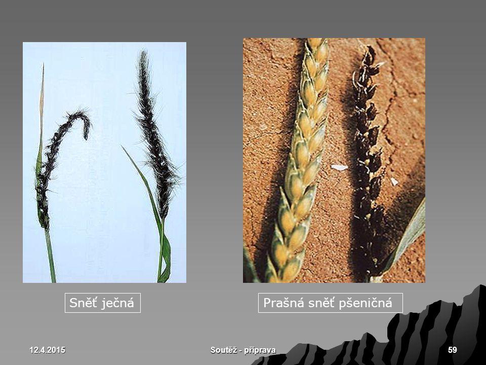 12.4.2015 Soutěž - příprava 59 Sněť ječnáPrašná sněť pšeničná