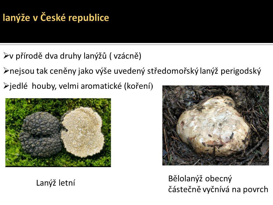  v přírodě dva druhy lanýžů ( vzácně)  nejsou tak ceněny jako výše uvedený středomořský lanýž perigodský Lanýž letní Bělolanýž obecný částečně vyční