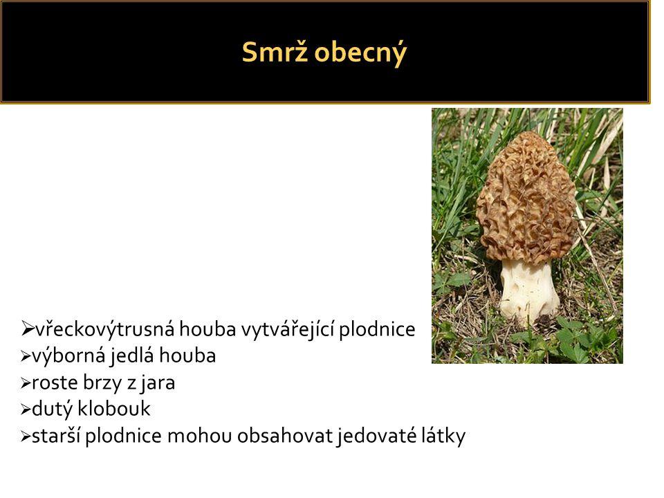  HAYNOLD, Bernd.Morchella esculenta. In: Wikipedia: the free encyclopedia [online].