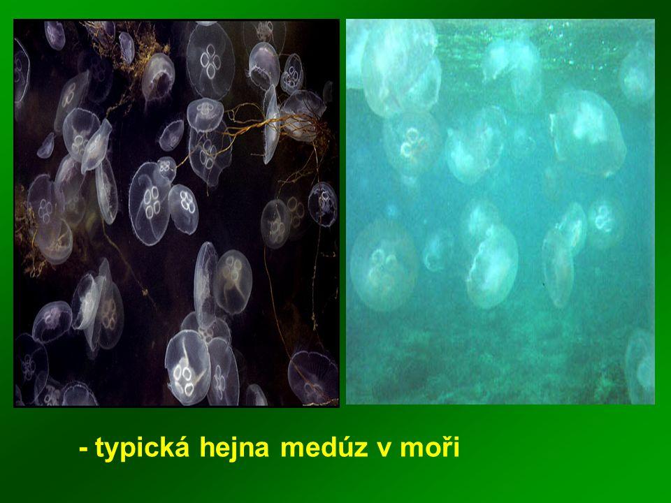 - typická hejna medúz v moři