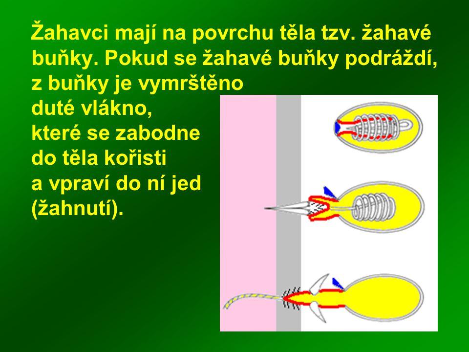 Žahavci mají na povrchu těla tzv. žahavé buňky. Pokud se žahavé buňky podráždí, z buňky je vymrštěno duté vlákno, které se zabodne do těla kořisti a v