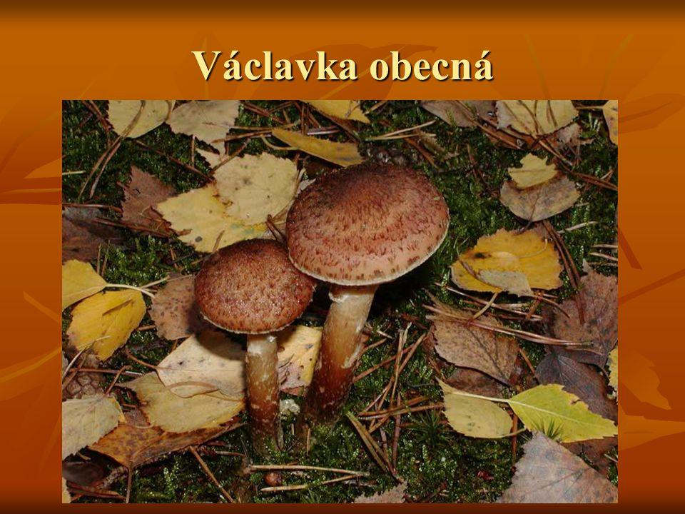 Václavka obecná