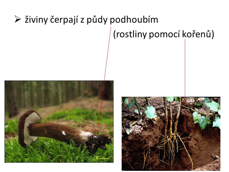  živiny čerpají z půdy podhoubím (rostliny pomocí kořenů)