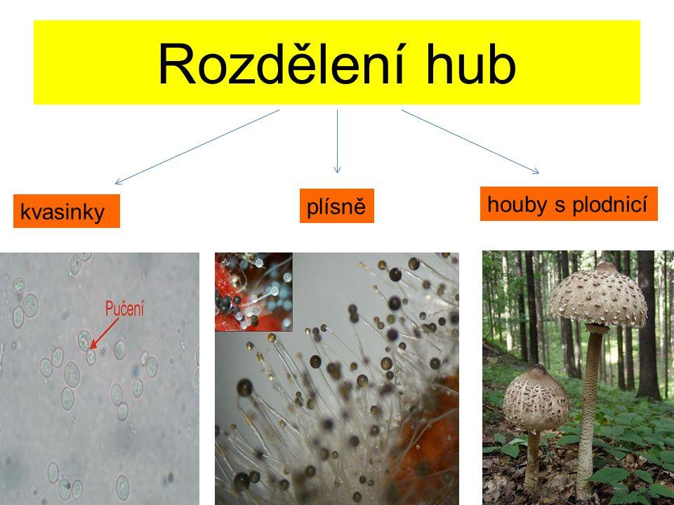 Rozdělení hub kvasinky plísně houby s plodnicí