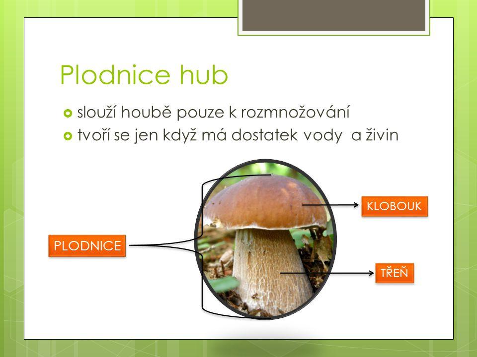 Plodnice hub  slouží houbě pouze k rozmnožování  tvoří se jen když má dostatek vody a živin PLODNICE KLOBOUK TŘEŇ