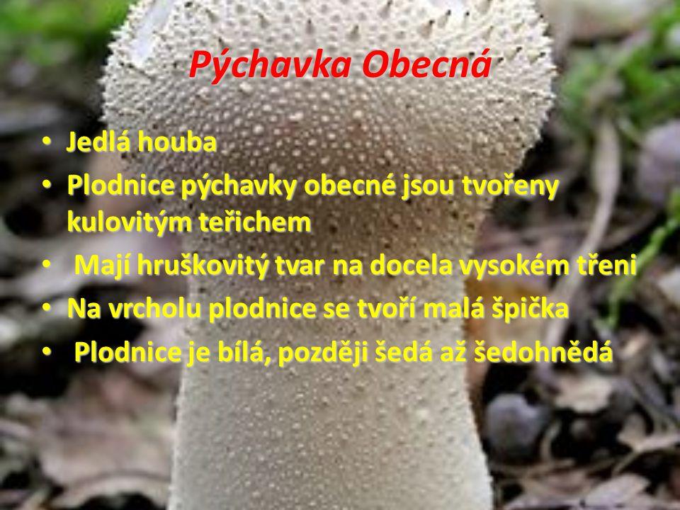 Pýchavka Obecná Jedlá houba Jedlá houba Plodnice pýchavky obecné jsou tvořeny kulovitým teřichem Plodnice pýchavky obecné jsou tvořeny kulovitým teřic