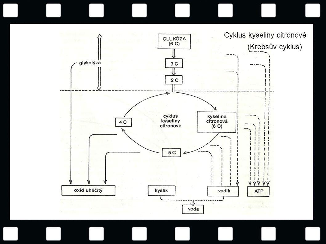 © Letohradské soukromé gymnázium o.p.s. Cyklus kyseliny citronové (Krebsův cyklus)