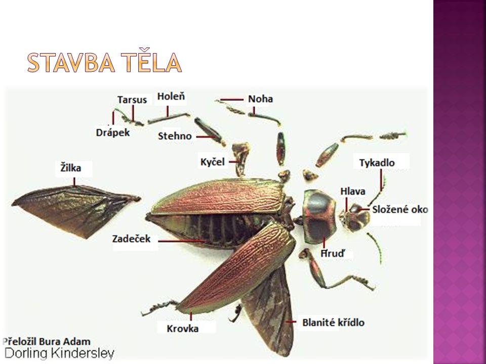  Mezi brouky najdeme druhy:  1) prospěšné člověku – likvidují škůdce – slunéčko sedmitečné požírá mšice  2)mrchožravé – hrobařík  3)škůdce - mandelinka bramborová